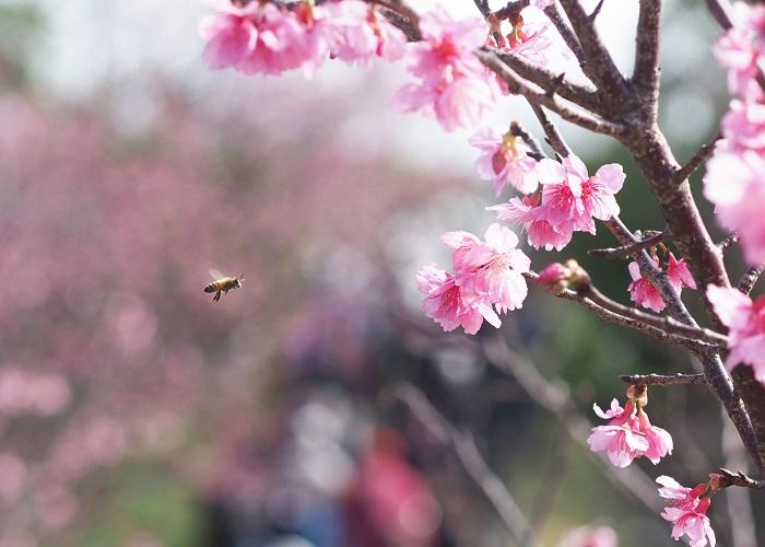 一足早い、桜を見に